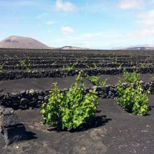 lanzarote vineyards